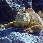 06-09 Espanola (Iguana Terrestre)
