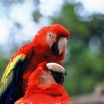 070-Guacamayo Rojo (Scarlet Macaw)