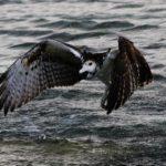 IMG_3048v (Osprey, Aguila Pescadora) Tobacco Caye-Belize